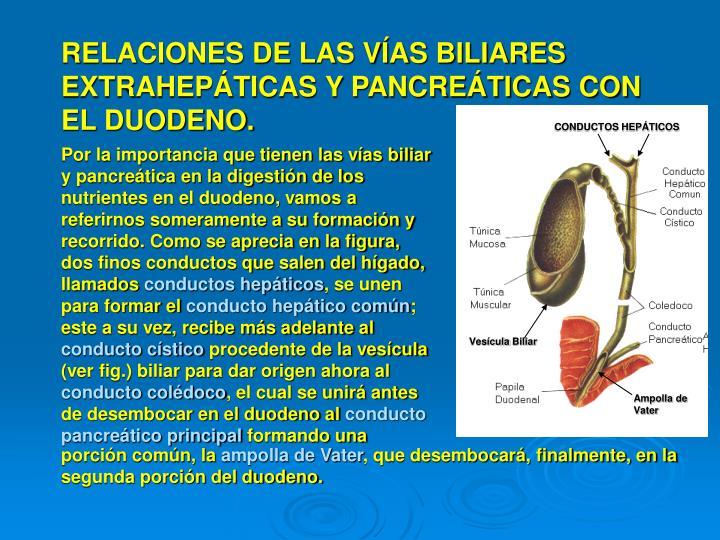 RELACIONES DE LAS VÍAS BILIARES EXTRAHEPÁTICAS Y PANCREÁTICAS CON EL DUODENO.