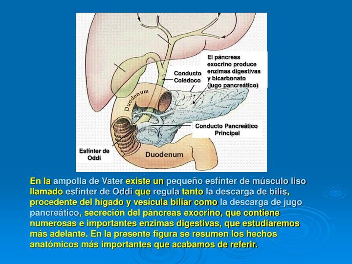 El páncreas exocrino produce enzimas digestivas y bicarbonato (jugo pancreático)