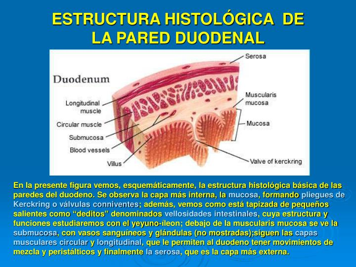 ESTRUCTURA HISTOLÓGICA  DE LA PARED DUODENAL
