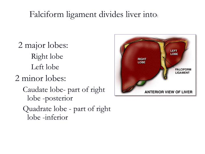 Falciform ligament divides liver into