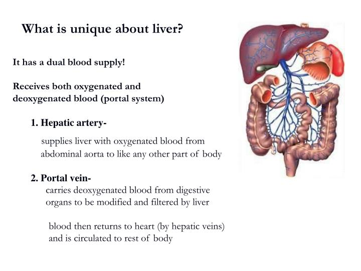 What is unique about liver?