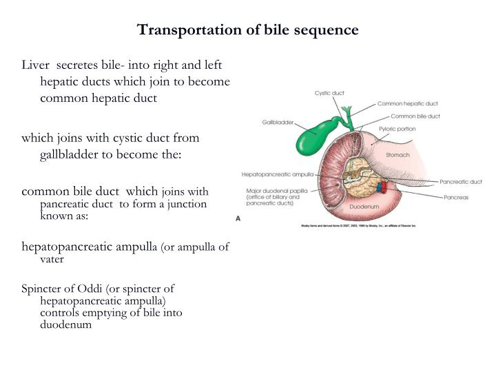 Transportation of bile sequence
