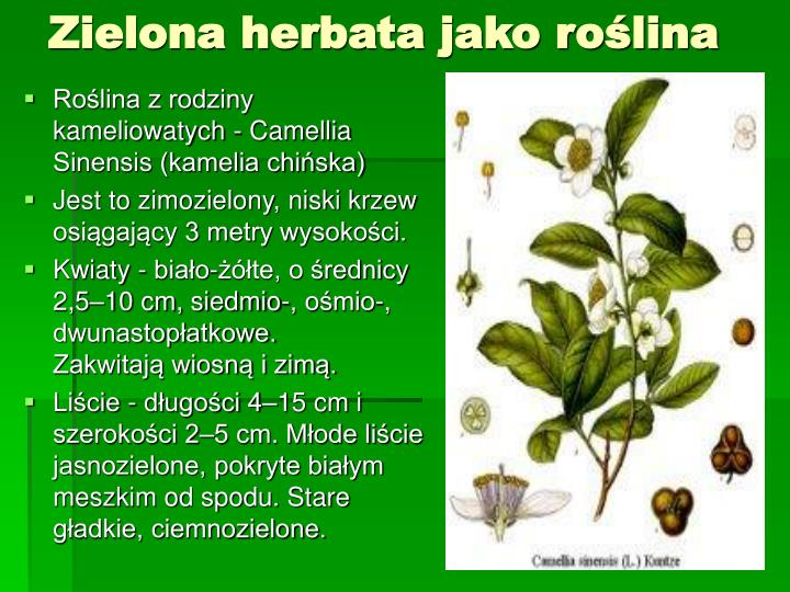 Zielona herbata jako roślina