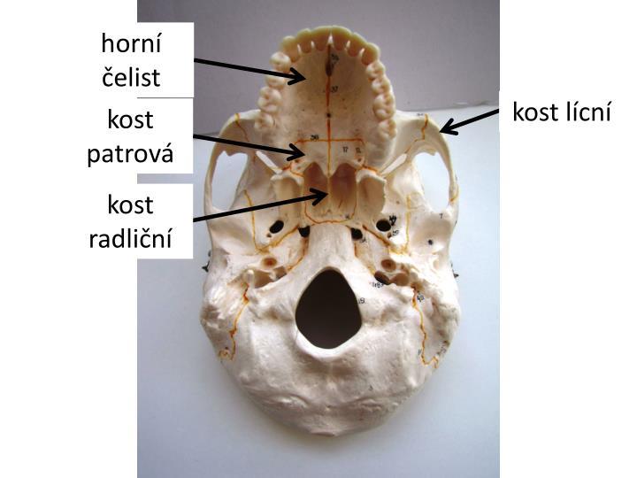 horní čelist
