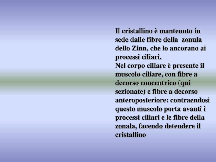 Il cristallino è mantenuto in sede dalle fibre della  zonula dello Zinn, che lo ancorano ai processi ciliari.