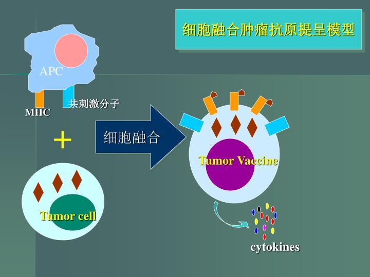 细胞融合肿瘤抗原提呈模型