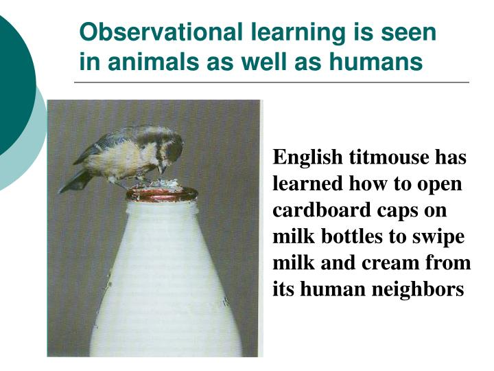 Observational learning is seen in animals as well as humans