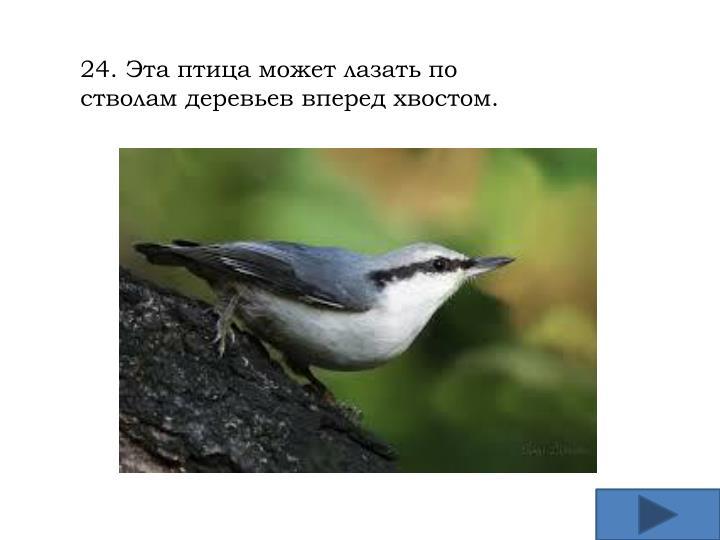 24. Эта птица может лазать по стволам деревьев