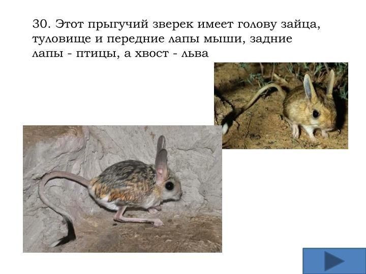 30. Этот прыгучий зверек имеет голову зайца, туловище и передние лапы мыши, задние лапы - птицы, а хвост