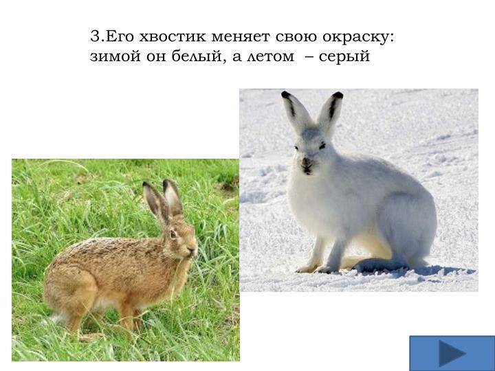 3.Его хвостик меняет свою окраску: зимой он белый, а летом  – серый