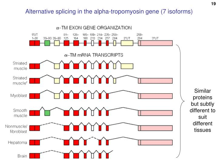 Alternative splicing in the alpha-tropomyosin gene (7 isoforms)