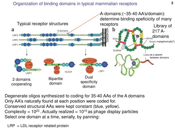 Organization of binding domains in typical mammalian receptors