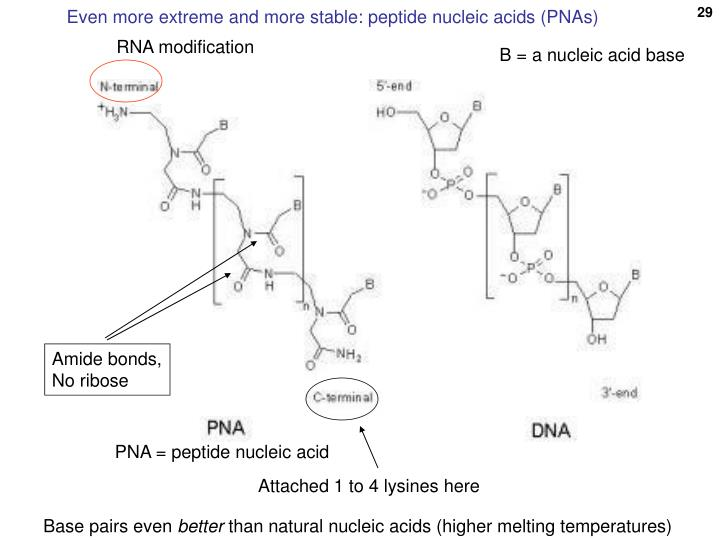 Even more extreme and more stable: peptide nucleic acids (PNAs)