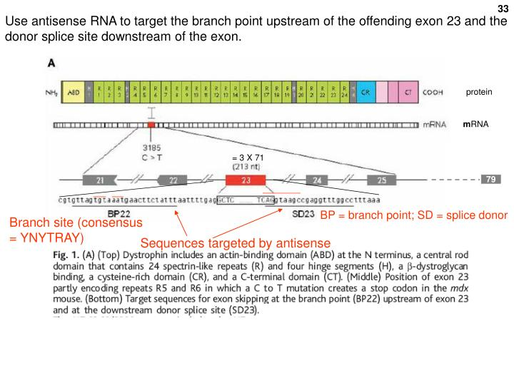 Use antisense RNA to target the branch point upstream of the offending exon 23 and the donor splice site downstream of the exon.