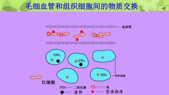毛细血管和组织细胞间的物质交换