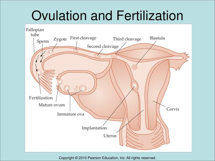 Ovulation and Fertilization