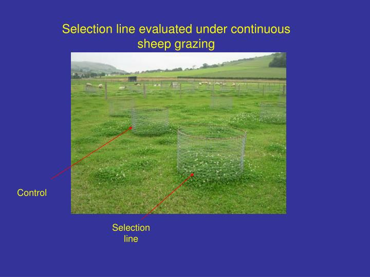 Selection line evaluated under continuous sheep grazing