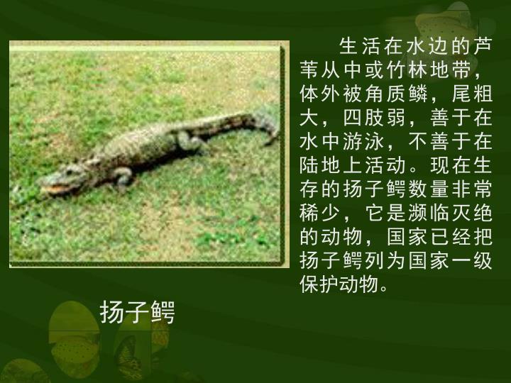 生活在水边的芦苇从中或竹林地带,体外被角质鳞,尾粗大,四肢弱,善于在水中游泳,不善于在陆地上活动。现在生存的扬子鳄数量非常稀少,它是濒临灭绝的动物,国家已经把扬子鳄列为国家一级保护动物。