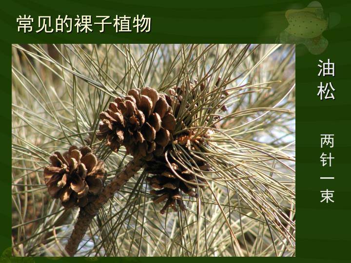 常见的裸子植物