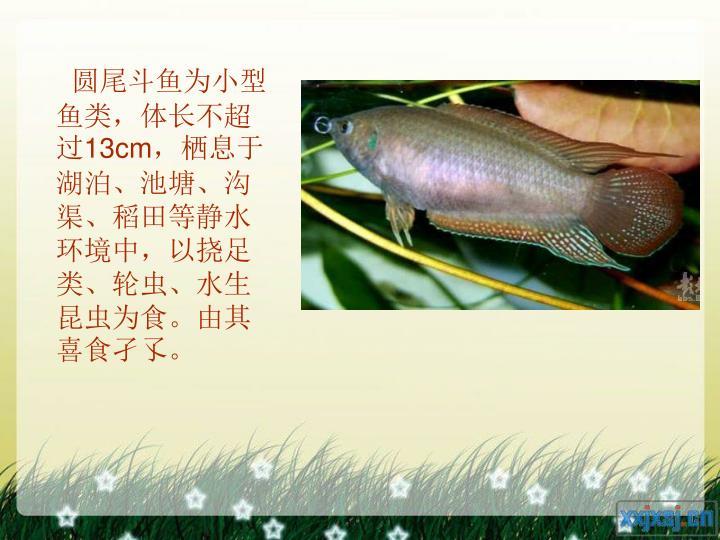 圆尾斗鱼为小型鱼类,体长不超过