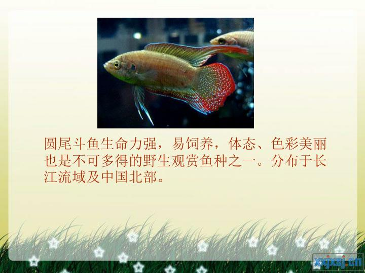 圆尾斗鱼生命力强,易饲养,体态、色彩美丽也是不可多得的野生观赏鱼种之一。分布于长江流域及中国北部。