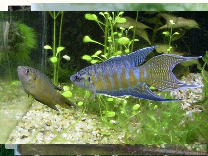 """除圆尾斗鱼外,在长江以南的广大水域中还分布有同科同属的叉尾斗鱼(简称""""普叉"""")。同圆尾斗鱼一样,叉尾斗鱼以水生无脊椎动物为食,也是灭蚊高手,同时也是著名观赏鱼种,在国外被称为""""天堂鱼""""。"""