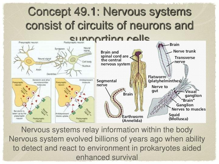 Concept 49.1: Nervous systems consist of circuits of neurons and supporting cells