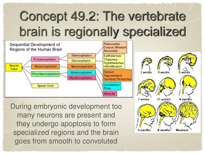 Concept 49.2: The vertebrate brain is regionally specialized