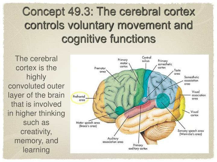 Concept 49.3: The cerebral cortex controls voluntary movement and cognitive functions