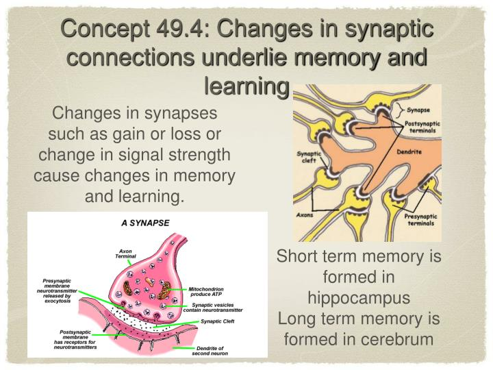 Concept 49.4: Changes in synaptic connections underlie memory and learning