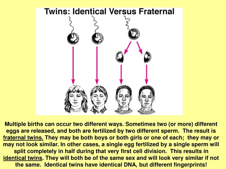 Multiple births can occur two different ways. Sometimes two (or more) different eggs are released, and both are fertilized by two different sperm.  The result is