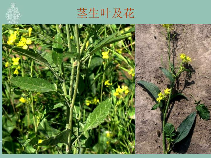 茎生叶及花