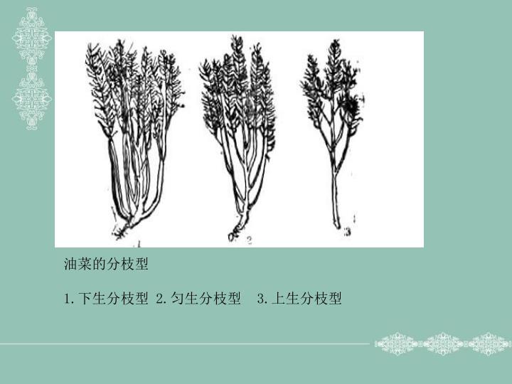 油菜的分枝型