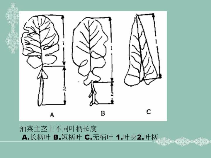 油菜主茎上不同叶柄长度