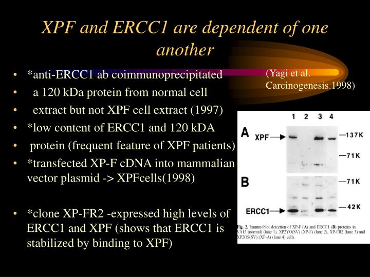 XPF and ERCC1 are dependent of one another