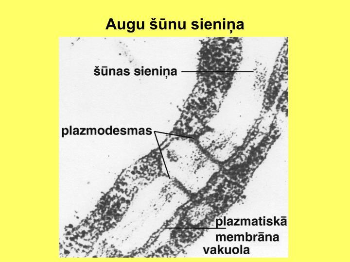 Augu šūnu sieniņa