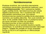 hemidesmosomas