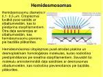hemidesmosomas1