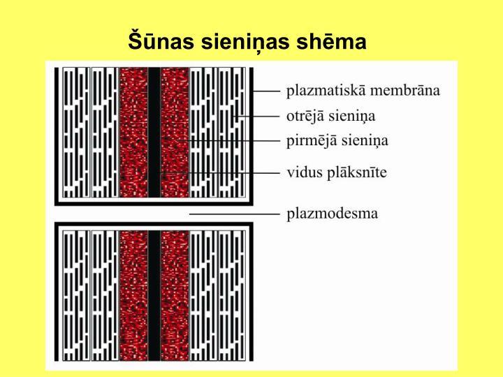 Šūnas sieniņas shēma
