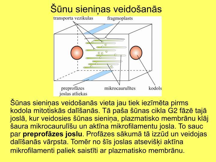 Šūnu sieniņas veidošanās
