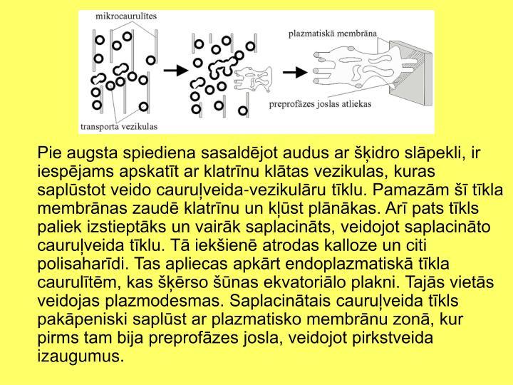 Pie augsta spiediena sasaldējot audus ar šķidro slāpekli, ir iespējams apskatīt ar klatrīnu klātas vezikulas, kuras saplūstot veido cauruļveida-vezikulāru tīklu. Pamazām šī tīkla membrānas zaudē klatrīnu un kļūst plānākas. Arī pats tīkls paliek izstieptāks un vairāk saplacināts, veidojot saplacināto cauruļveida tīklu. Tā iekšienē atrodas kalloze un citi polisaharīdi. Tas apliecas apkārt endoplazmatiskā tīkla caurulītēm, kas šķērso šūnas ekvatoriālo plakni. Tajās vietās veidojas plazmodesmas. Saplacinātais cauruļveida tīkls pakāpeniski saplūst ar plazmatisko membrānu zonā, kur pirms tam bija preprofāzes josla, veidojot pirkstveida izaugumus.