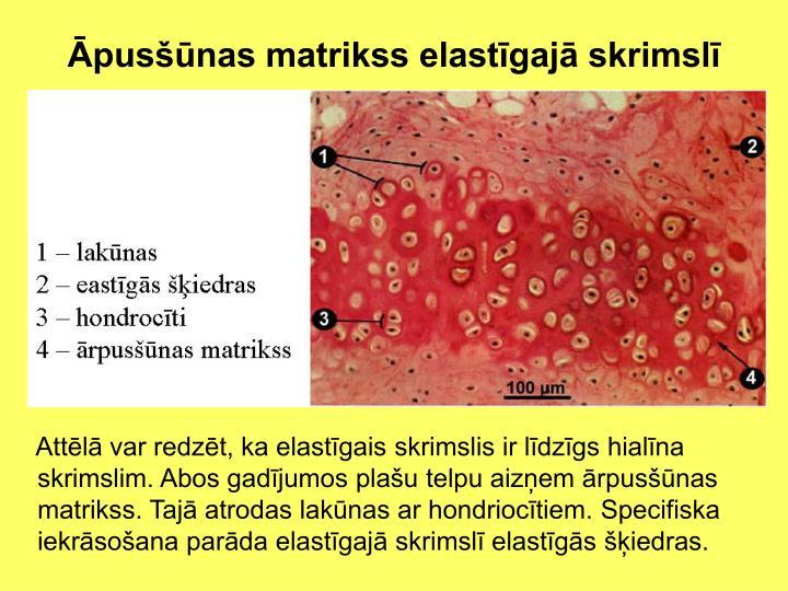 Āpusšūnas matrikss elastīgajā skrimslī