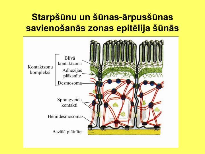 Starpšūnu un šūnas-ārpusšūnas savienošanās zonas epitēlija šūnās