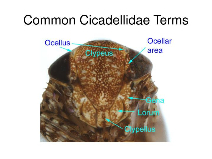Common Cicadellidae Terms
