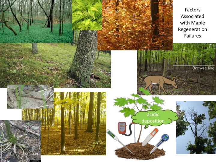 Factors Associated with Maple Regeneration Failures