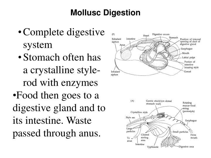 Mollusc Digestion