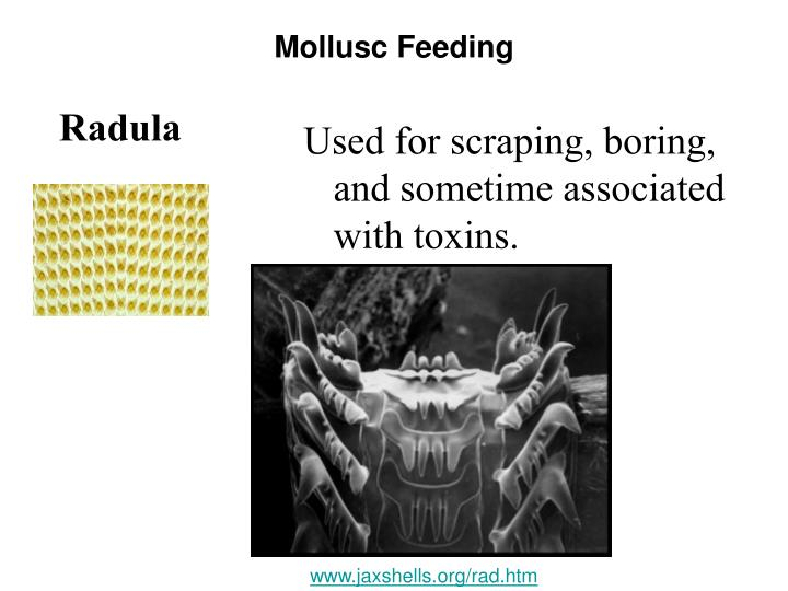 Mollusc Feeding