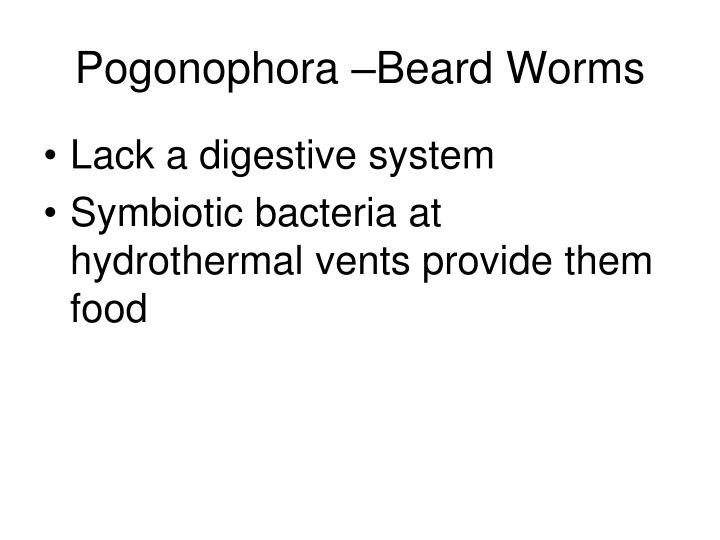 Pogonophora –Beard Worms