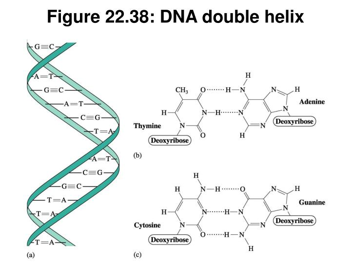 Figure 22.38: DNA double helix