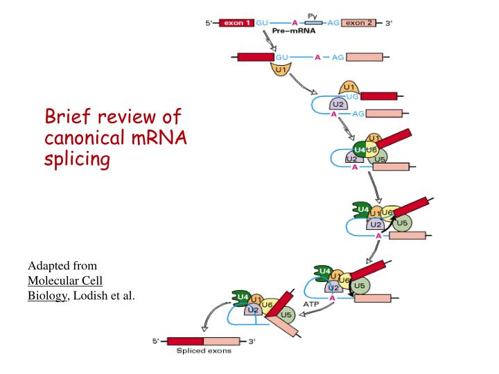 Brief review of canonical mRNA splicing